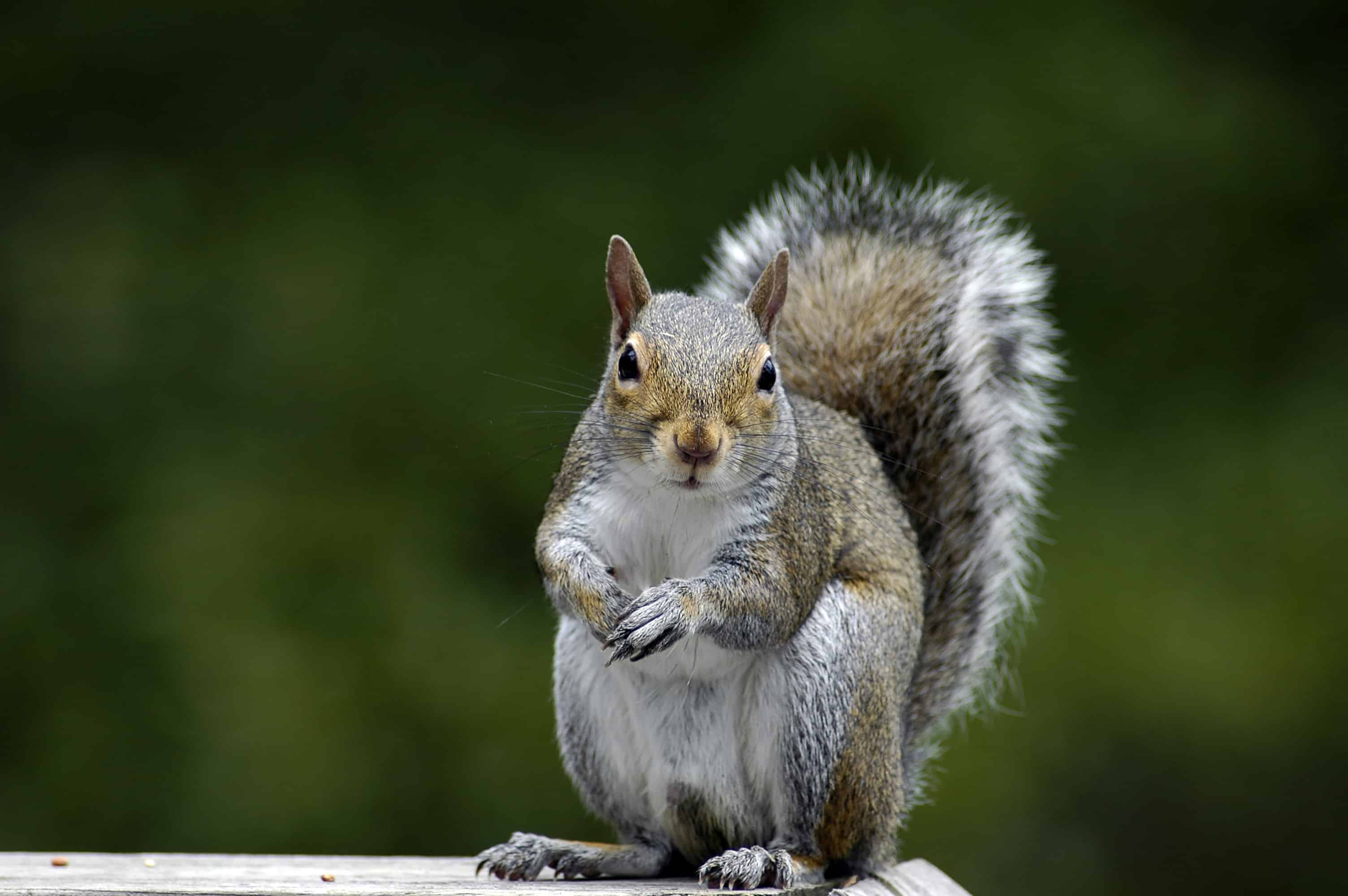 Squirrel Damage to Roof—How to Repair and Prevent It